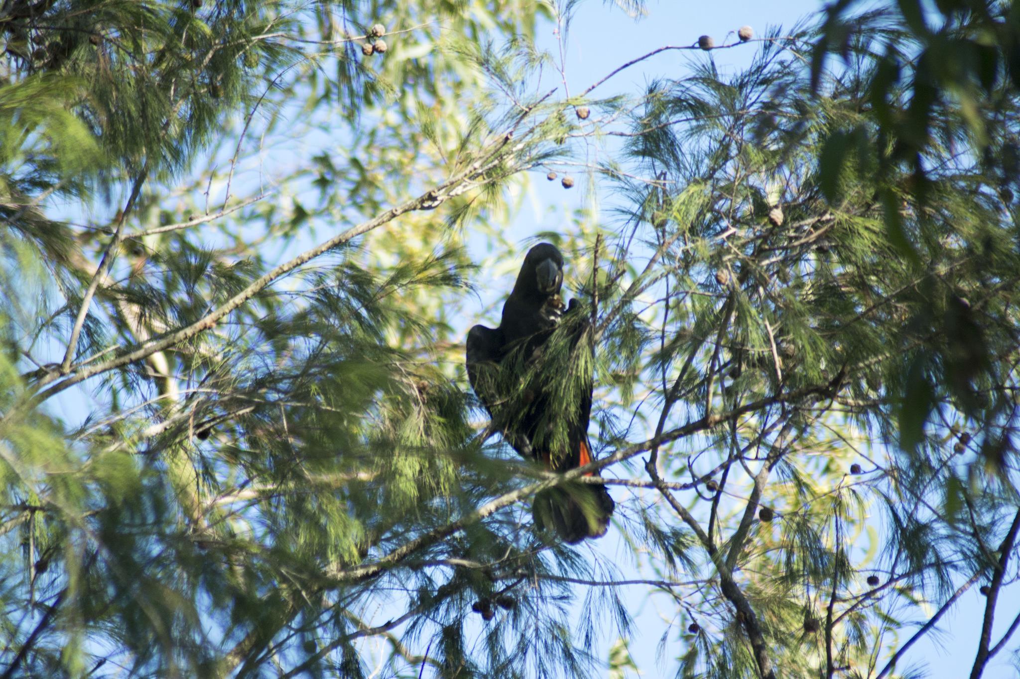 Glossy Black Cockatoo feeding near the Nursery