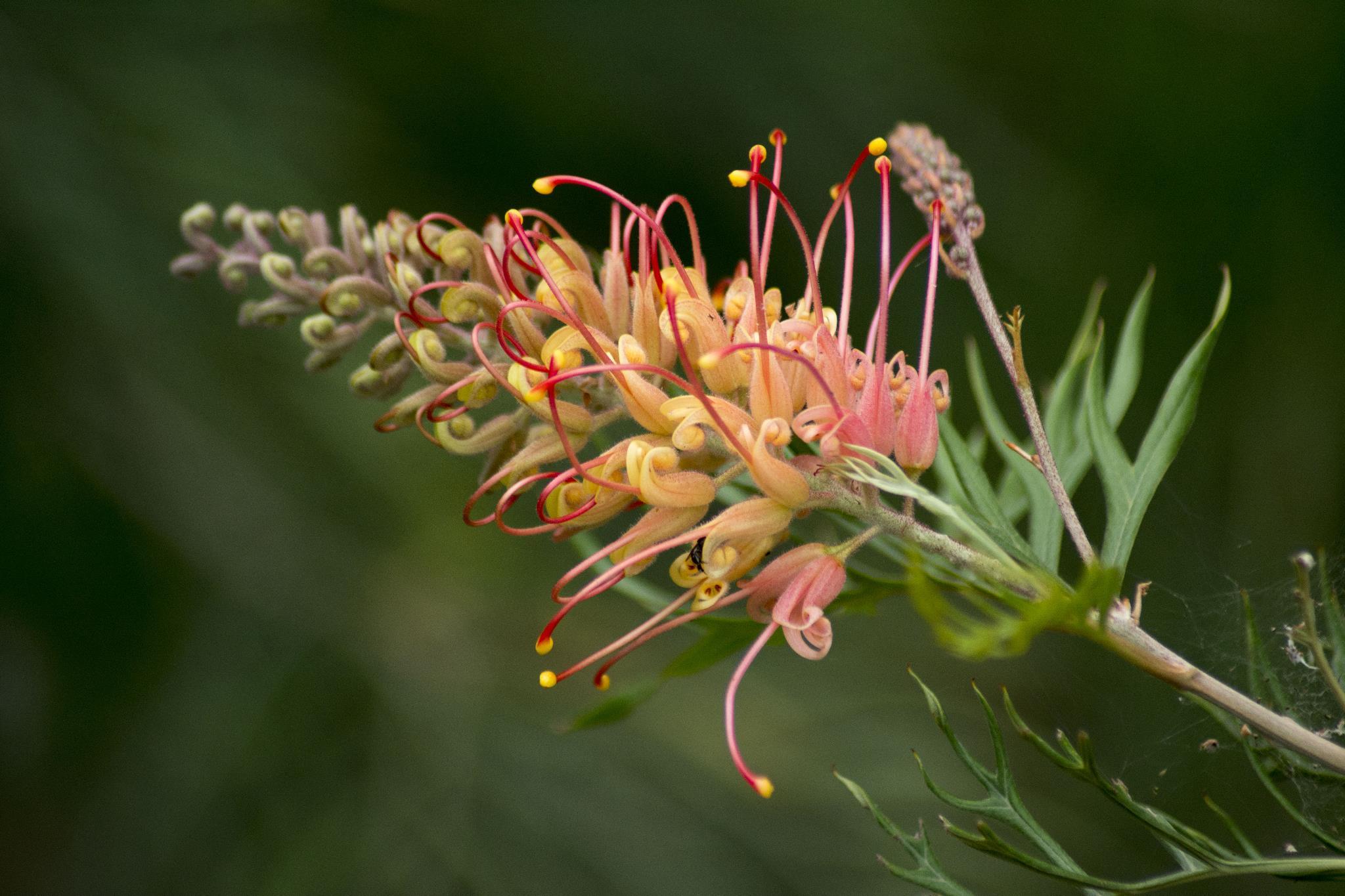 """Grevillea """"Superb"""" - Flower"""