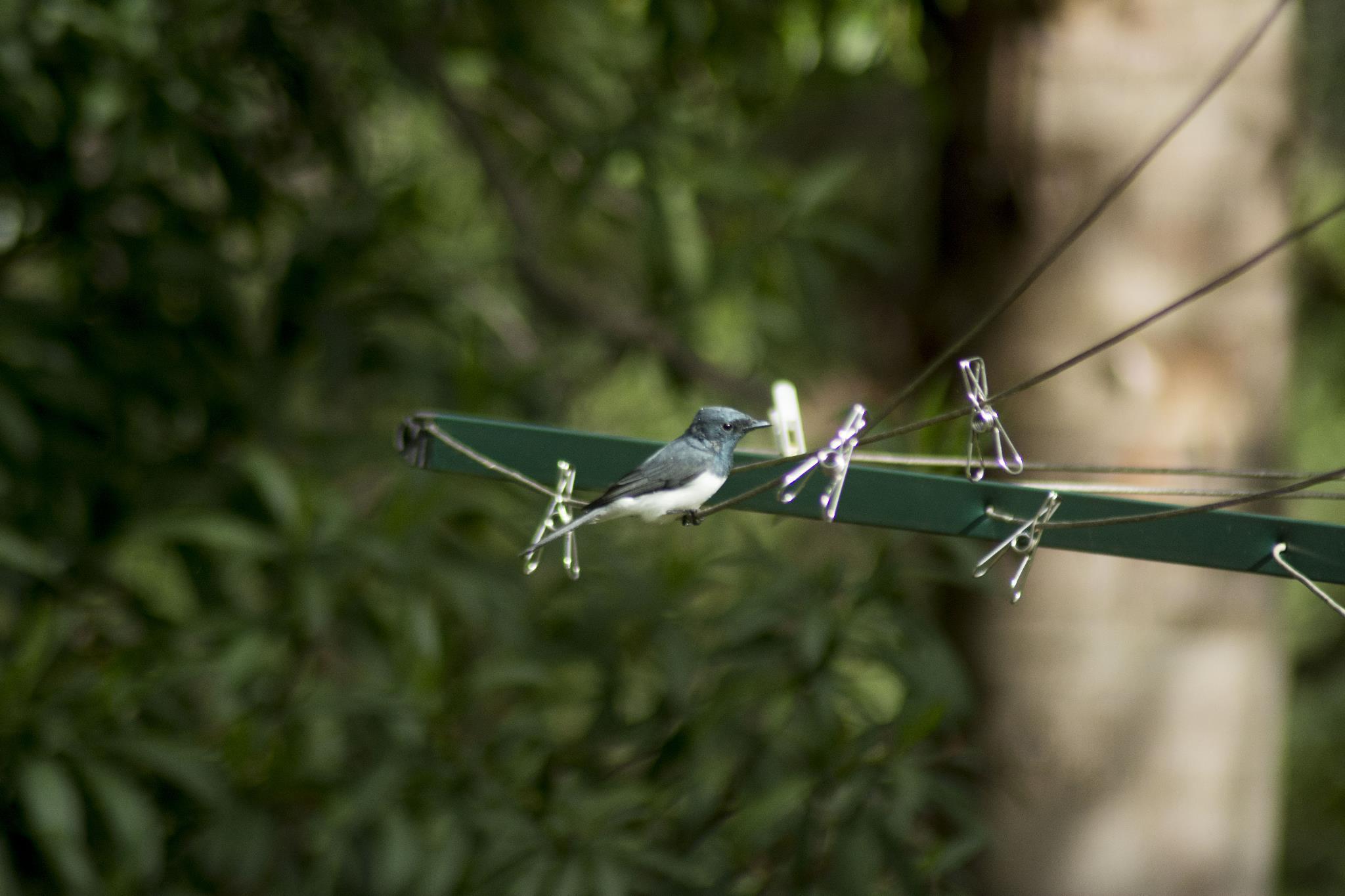 Leaden Flycatcher - male