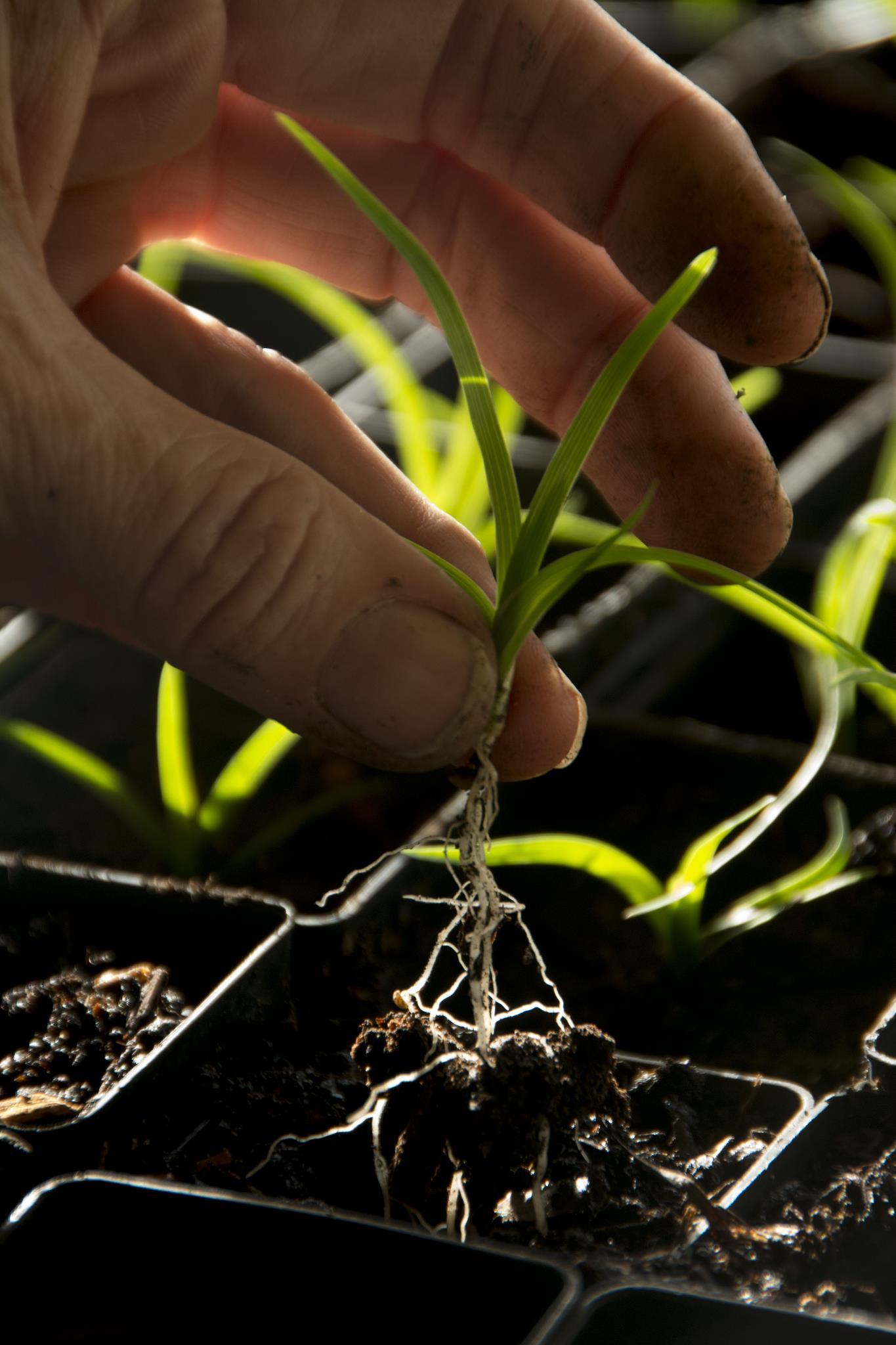 Propagating Lomandra confertifolia