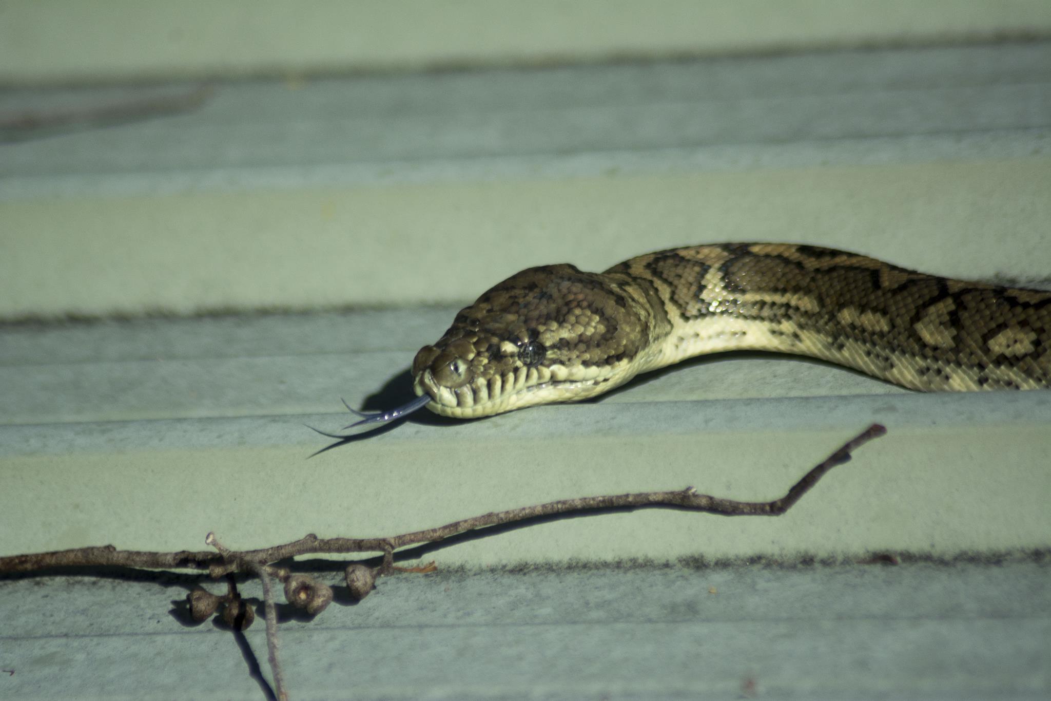 Coastal Python on the Roof