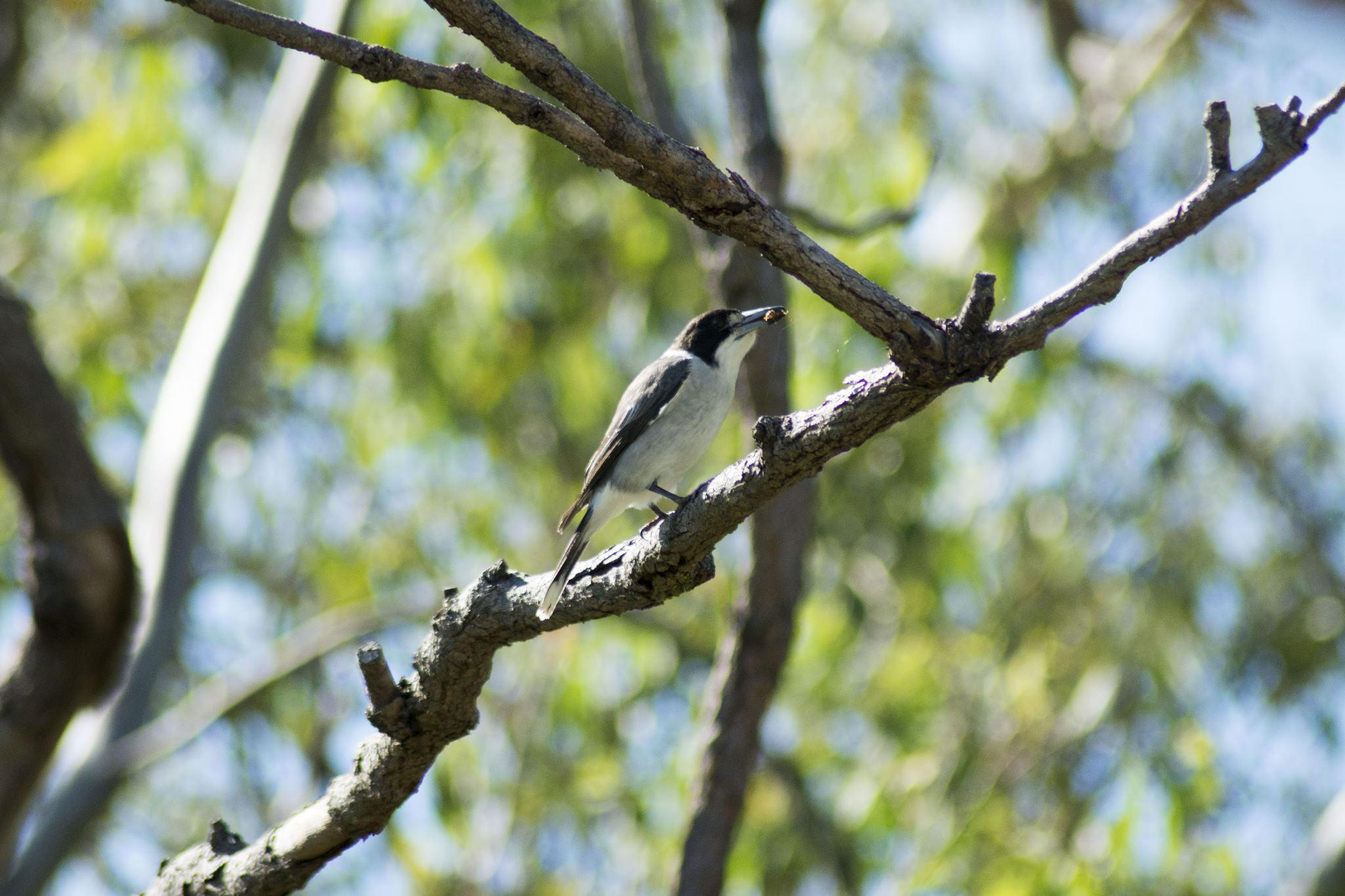 Butcherbird having his breakfast