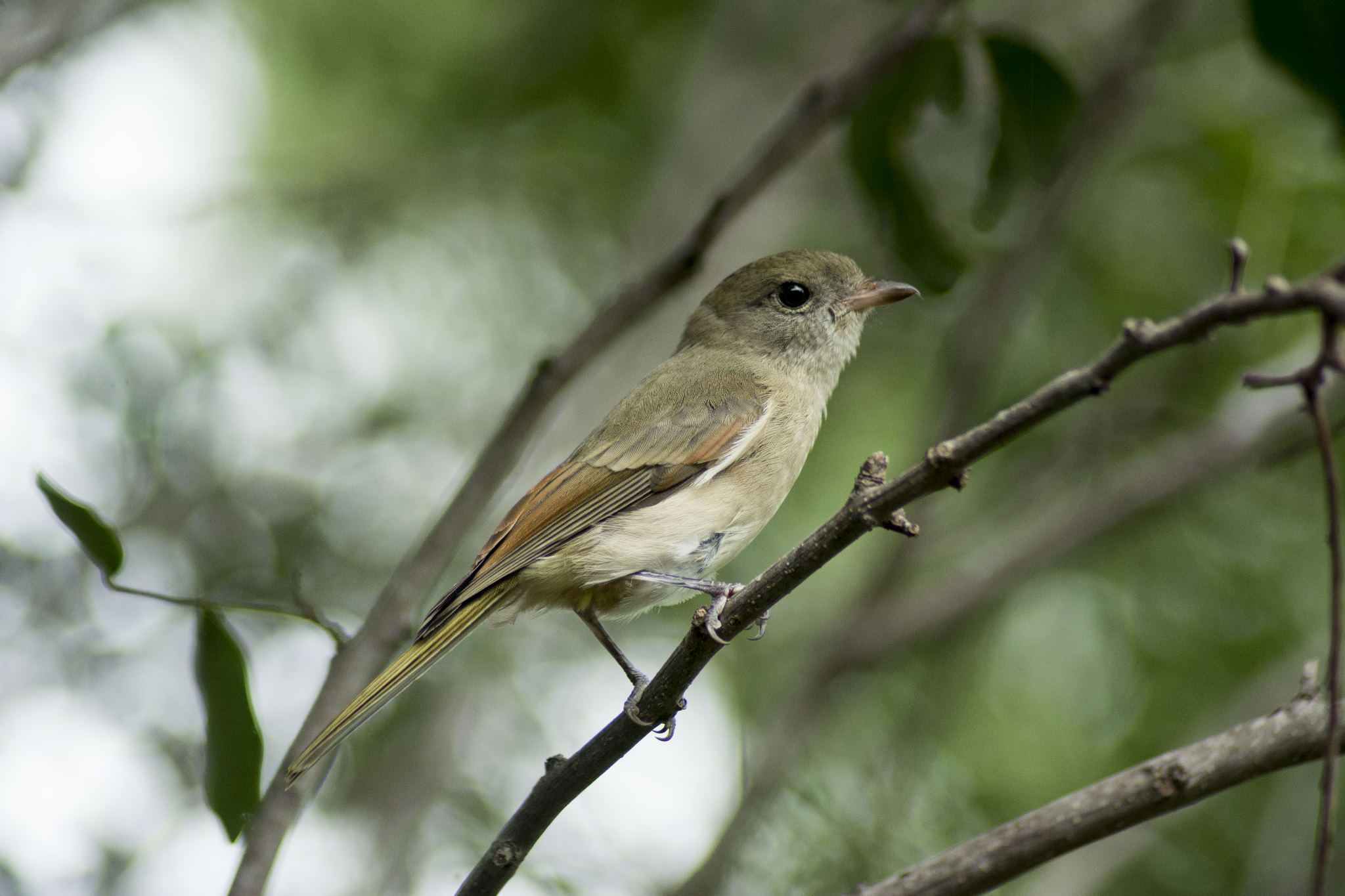 Golden Whistler - female