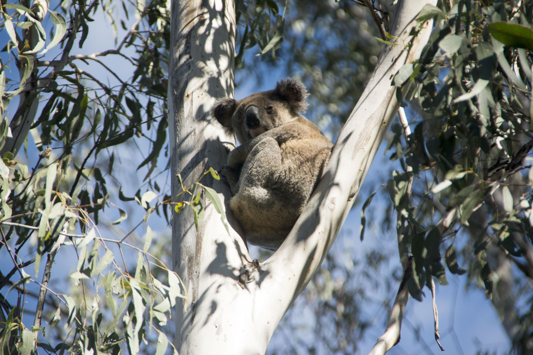 Renee - our local koala