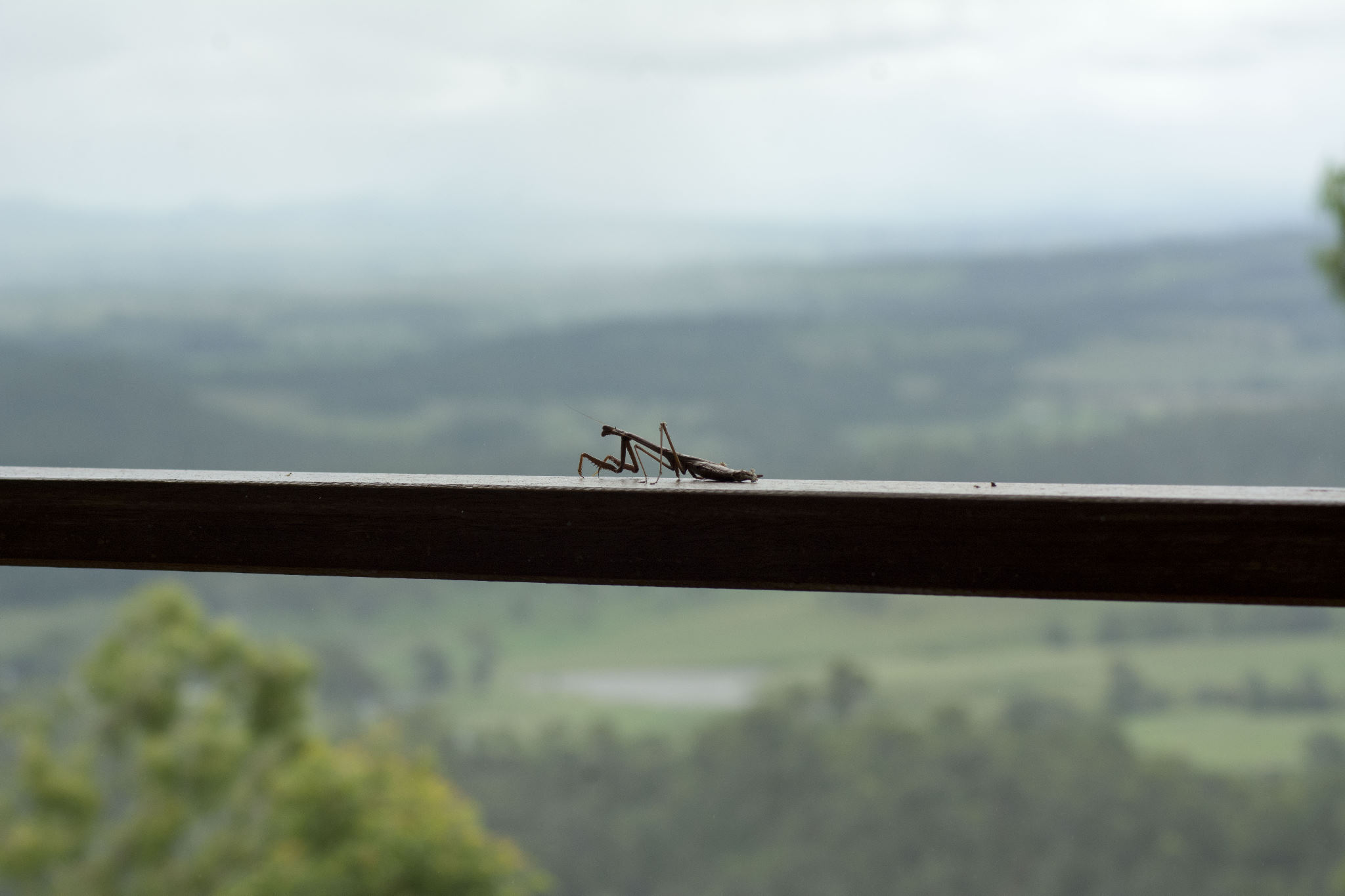 Praying Mantis with a view