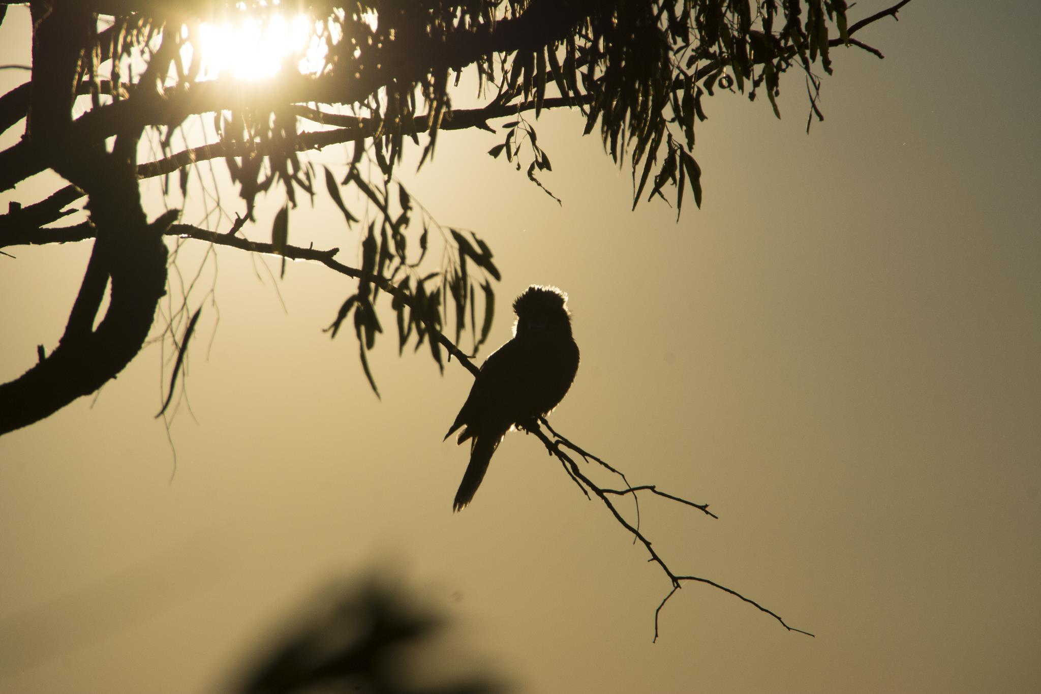 Kookaburra in the sun