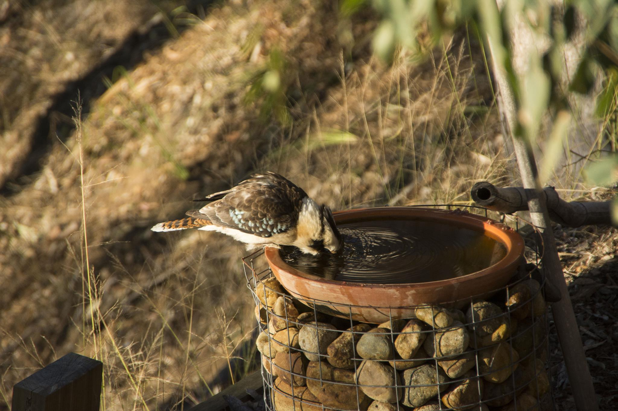 Laughing Kookaburra dipping his head in the bath