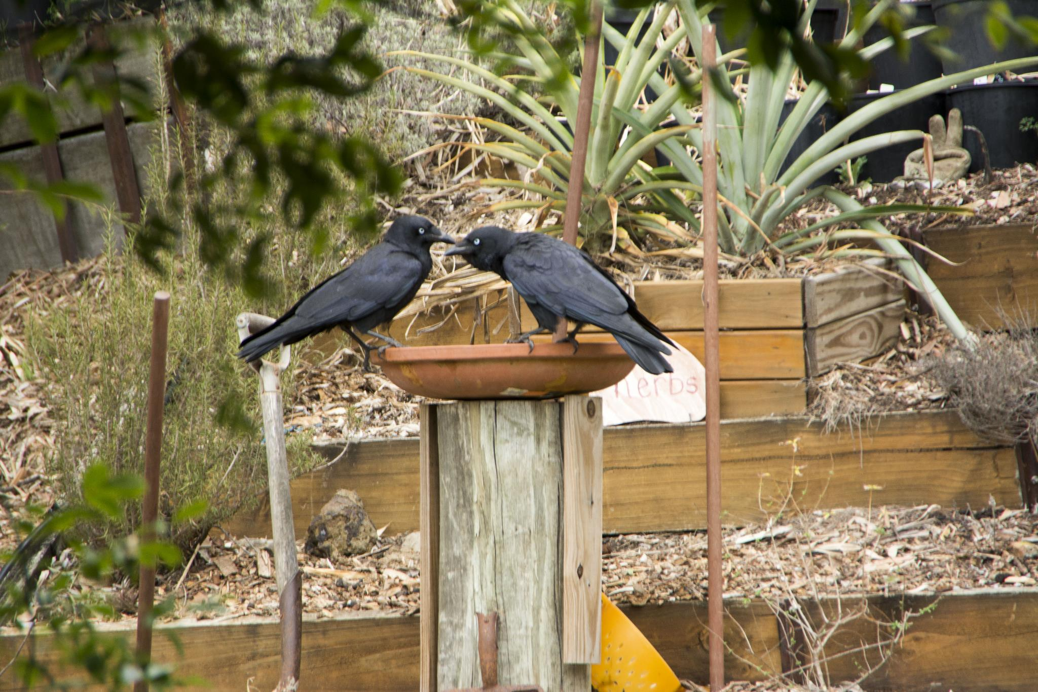 Buzz and Woody - Australian Ravens