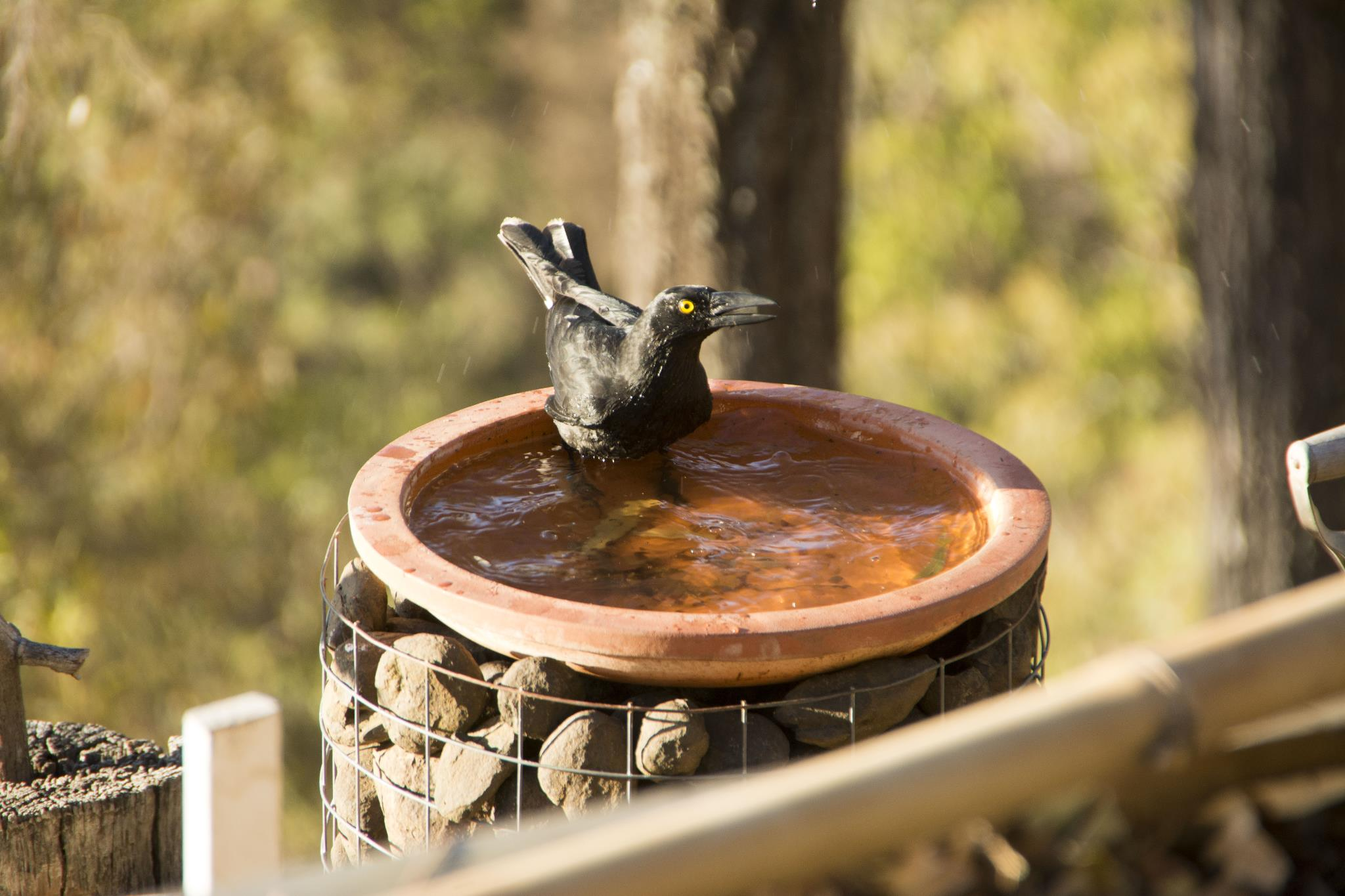 Penny the Currawong taking a dip