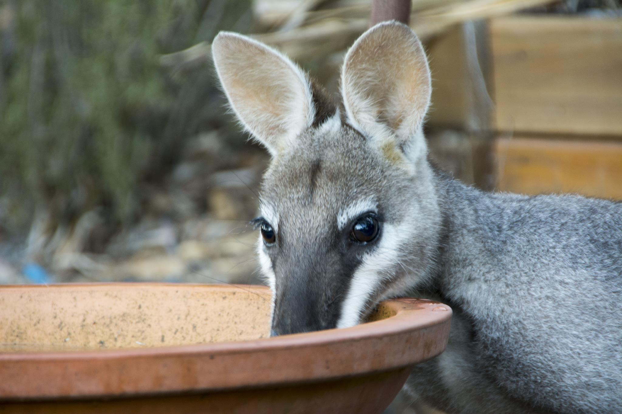 Pretty-faced Wallaby drinking