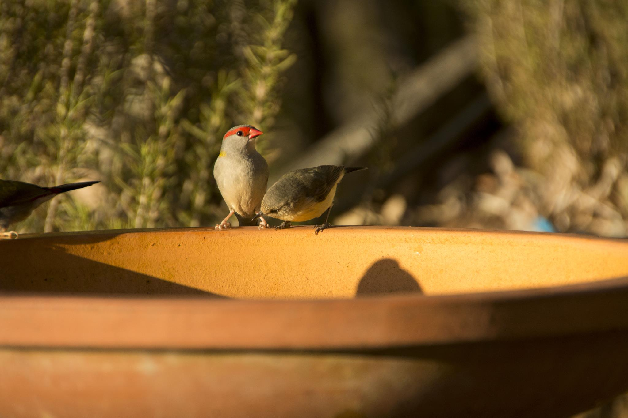 Red-browed Finch and Buff-rumped Thornbill