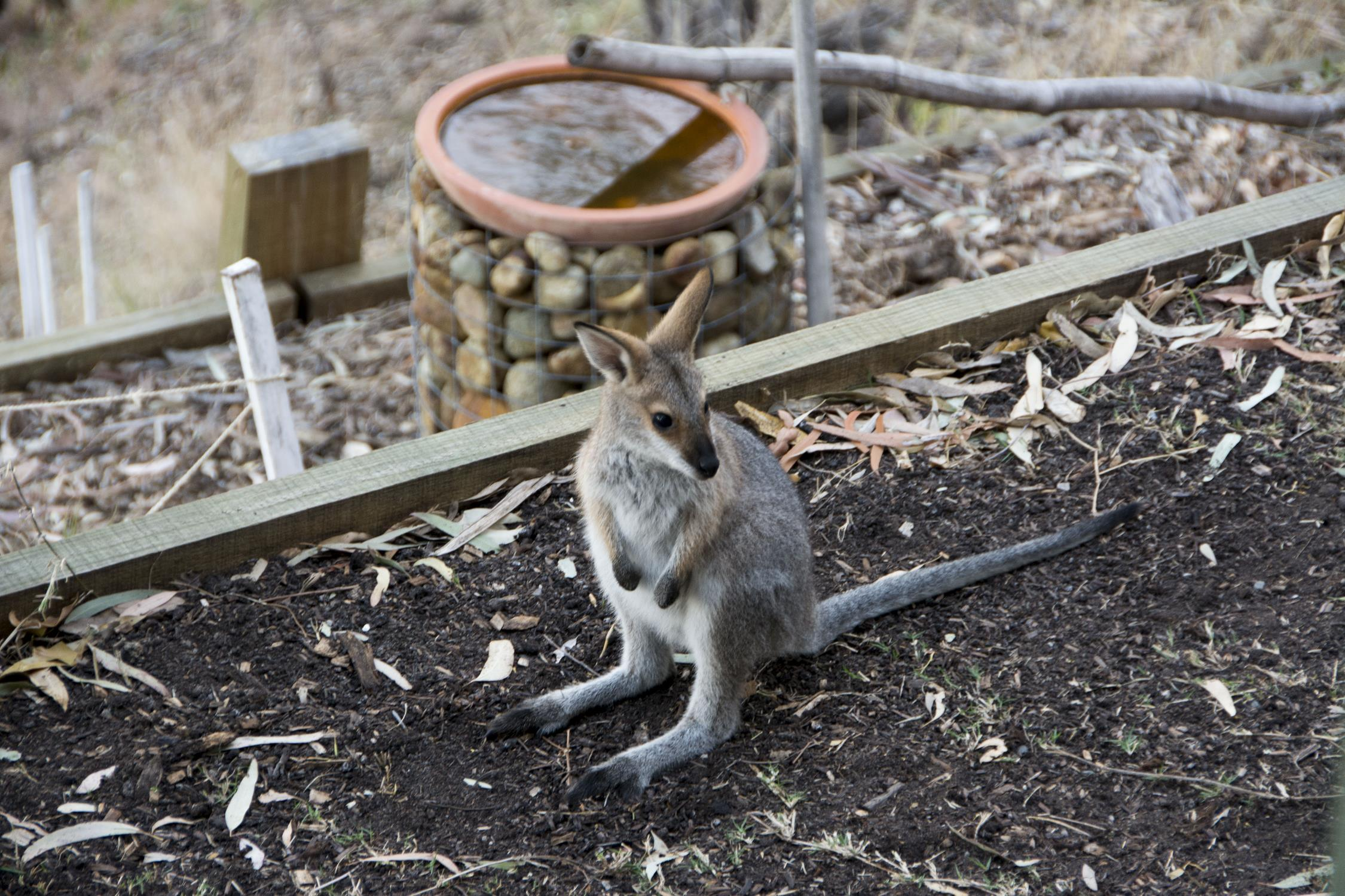 Ronnie the young red-necked Wallaby