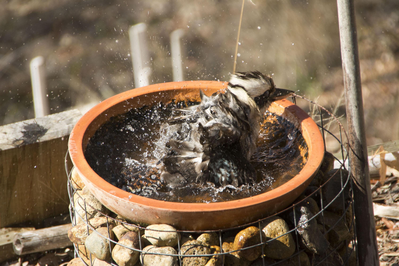 Kookaburra takes a bath - Scenic Rim