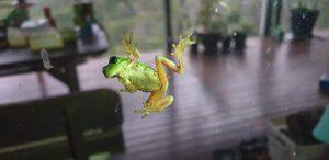 Green Tree Frog on a Window