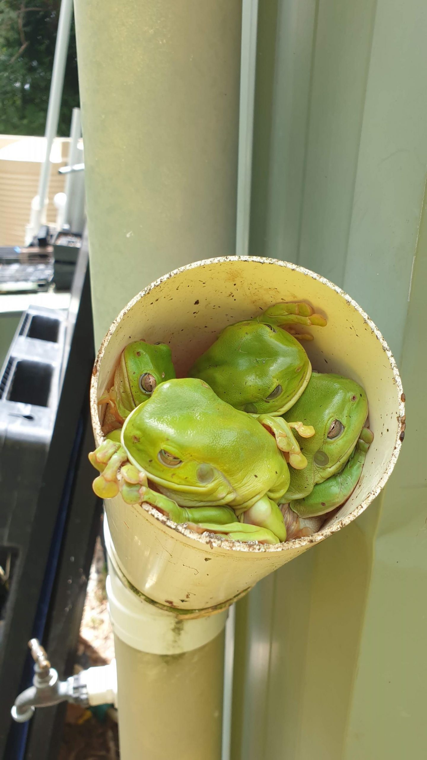 Pipe full of Frogs