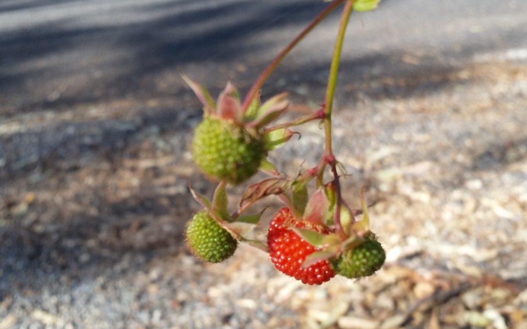 Native Raspberries make an appearence – 2nd July 2016