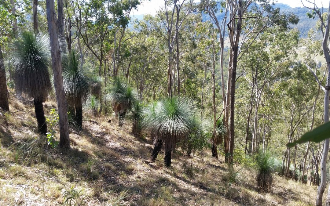 Harvesting Xanthorrhoea(Grass Tree) seeds – 17th January 2018