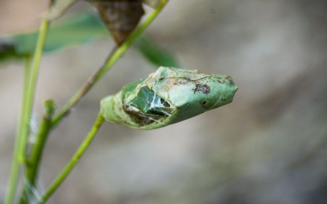 Brachychiton Webbing Caterpillars/Moths – 28 February 2108